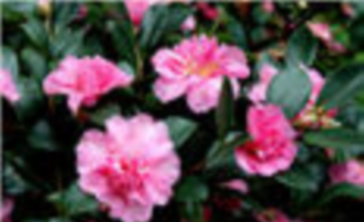 Camellia Festival