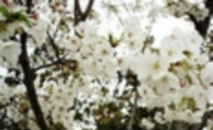 Cherry Blossom Blooms in Gucun Park in Shanghai