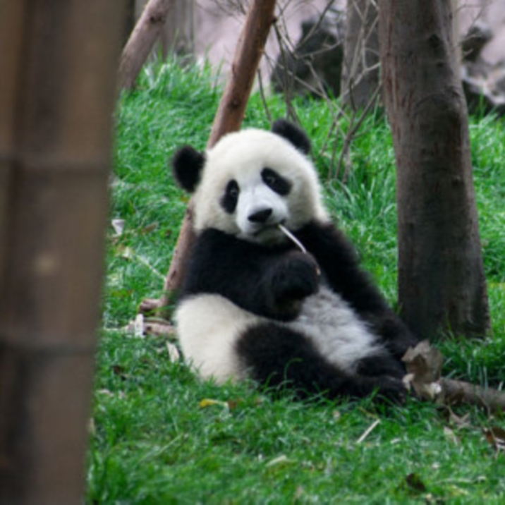 Críatero de Oso Panda de Chengdu
