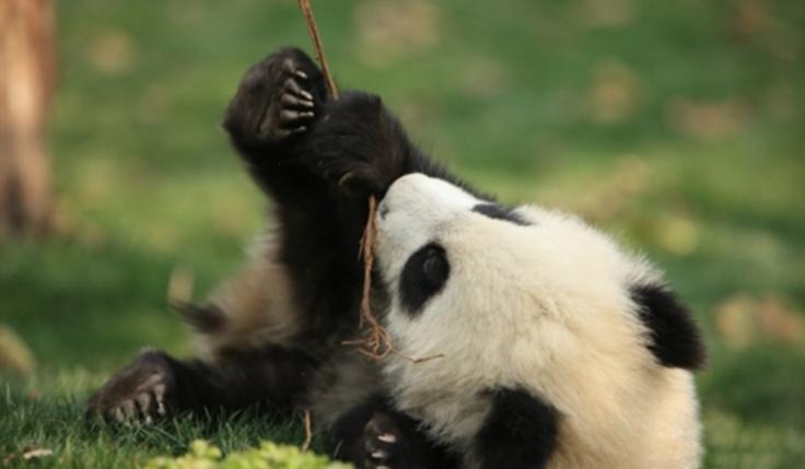 [72 heures] SANS VISA @ Transits via Chengdu, les attractions naturelles