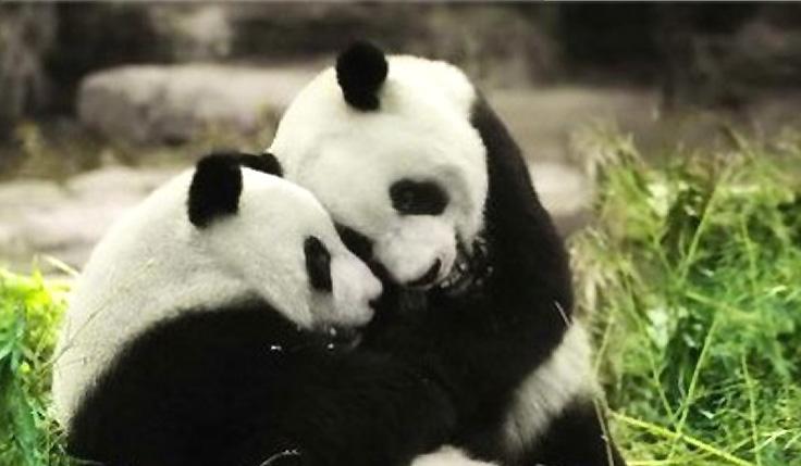 Pandas Géants mignons