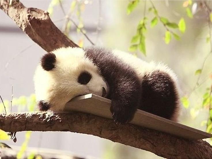 Trésor mignon de la Pronvice du Sichuan