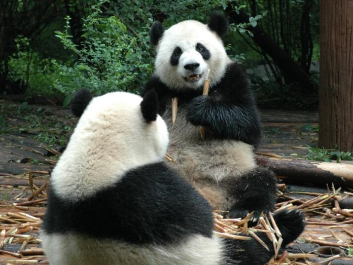 China Giant Panda, Cute National Treasure