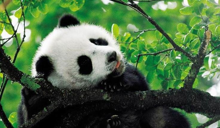 Chengdu Panda Breeding Center