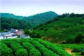 Dragon Wall Tea Plantation 1