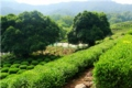 Dragon Wall Tea Plantation 2
