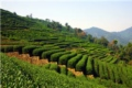 Dragon Wall Tea Plantation 3