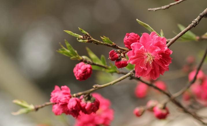 Guilin Peach Blossom Festival