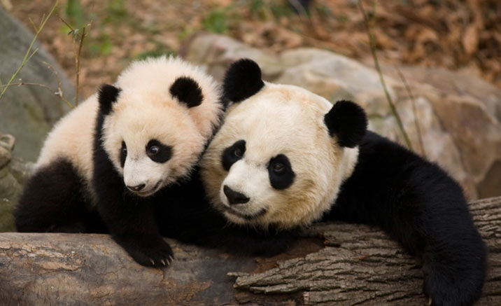 pandas in Macao open to public