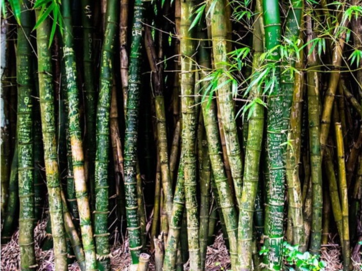 Anji Bamboo Sea
