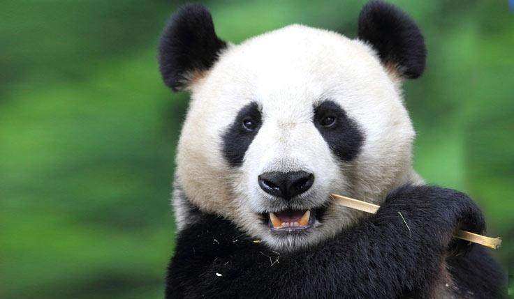 Dujiangyan Panda Keeper Tour