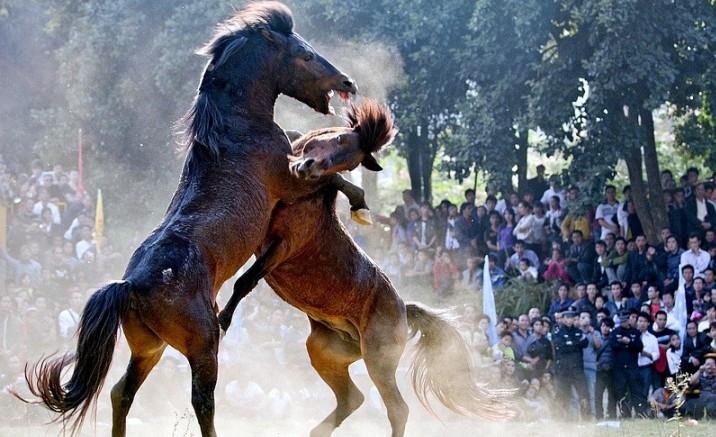Horse fighting