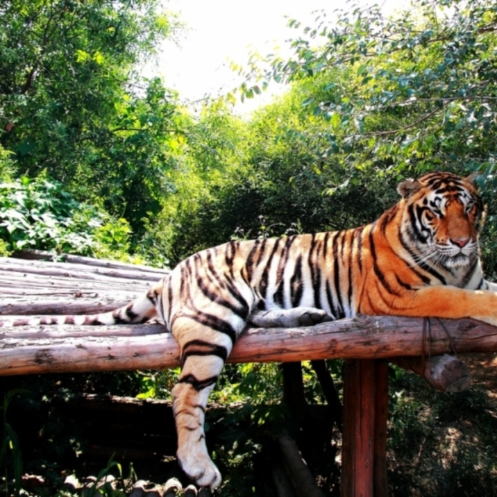 Siberian Tiger Park
