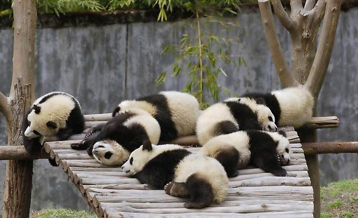 Province du Sichuan : Itinéraires touristiques pour observer les pandas géants dans la nature
