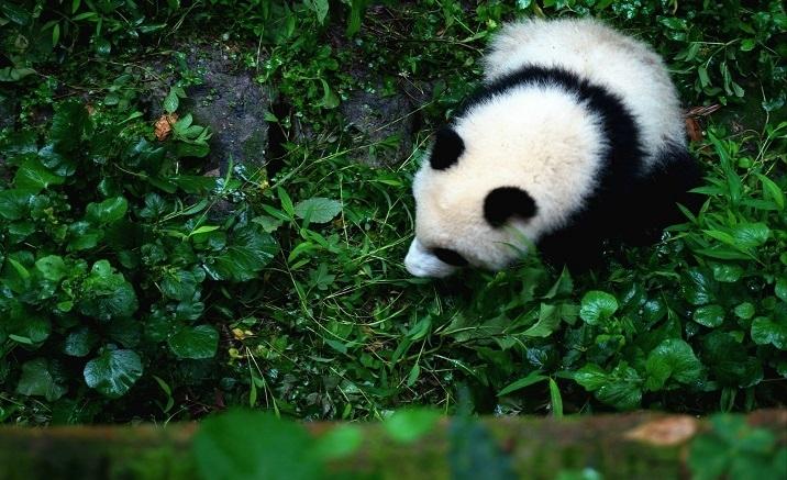 Chengdu, le parc sino-français à thème « panda géant » à construire