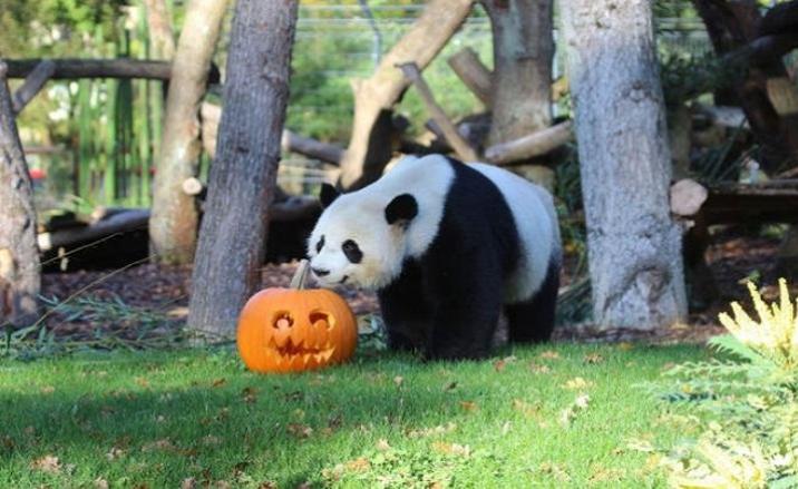 Les Pandas ont célébré la Fête de Halloween