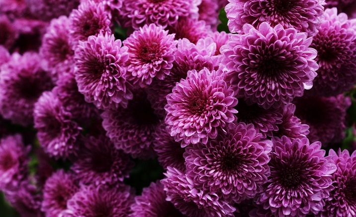 The 41st Beijing Chrysanthemum Exhibition opens