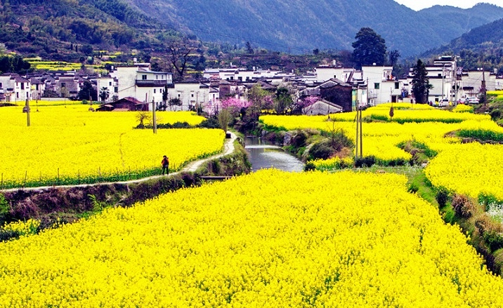 The Second Rape Flower Tourism and Culture Festival opens in Wuyuan