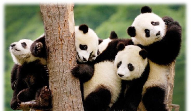 Cuidar a los osos pandas