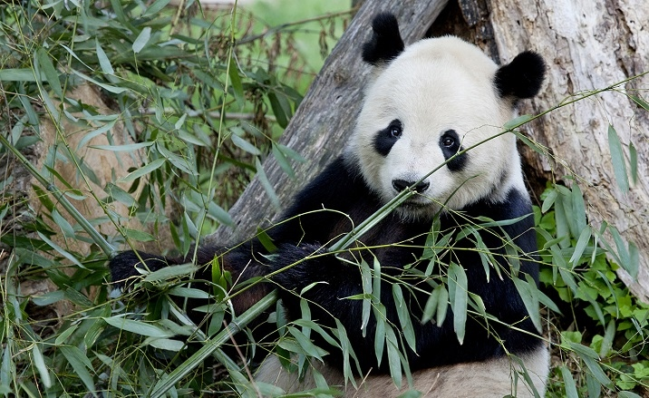 Giant Panda National Park to be completed by the end of 2020