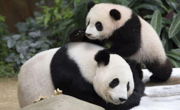 The expansion work of Chengdu Giant Panda Breeding Research to be completed The expansion work of Chengdu Giant Panda Breeding Research to be completed