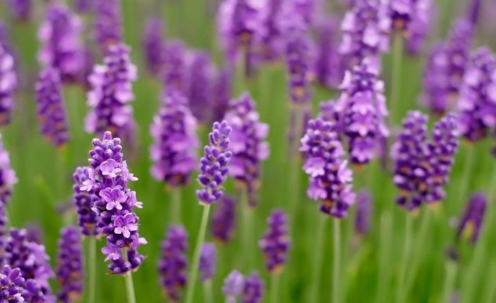 The 4th Shanghai Lavender Festival opens