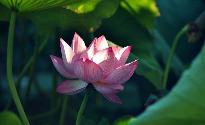 Lotus Festival opens in Kunming Green Lake Park