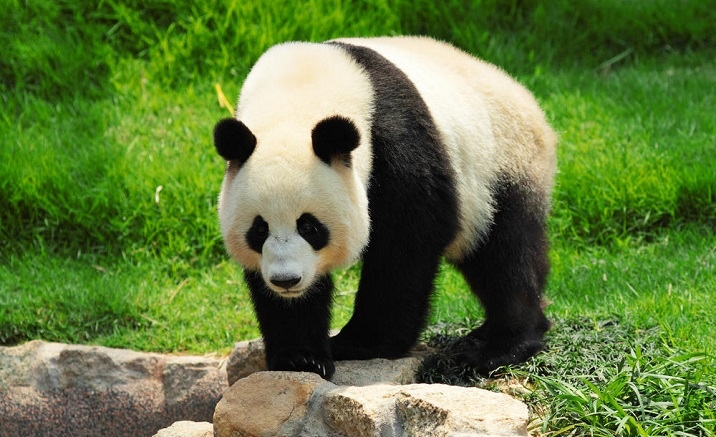 Sichuan to open the panda-themed international resort