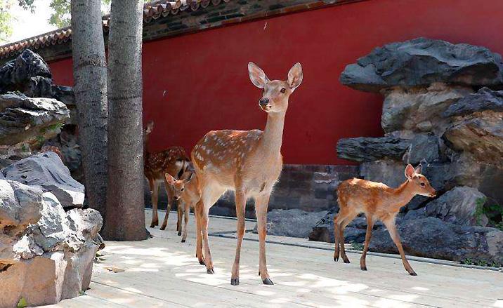 Beijing : Neuf cerfs Sika dans la Cité Interdite