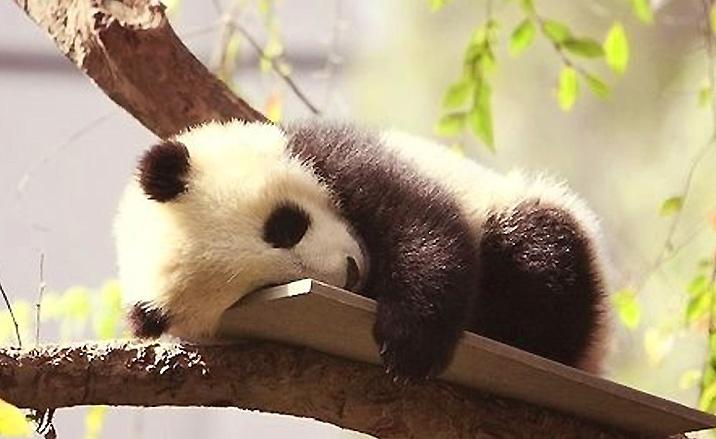 Un bébé panda géant a sommeil du Centre de reproduction des pandas géants à Chengdu
