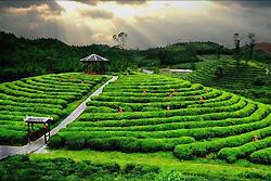 La plantation de Thé