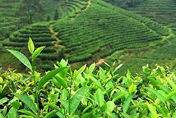 Plantation de thé Longjing