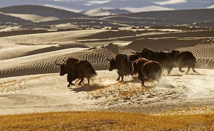 Les yaks sauvages de la Réserve naturelle de Sanjiangyuan