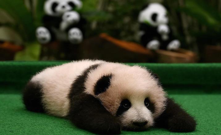 un bébé panda géant